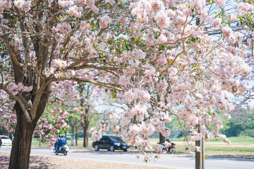 spring season travel concept from beautiful of pink flower , sakura or cherry blossom full bloom in park with blue sky and soft focus background
