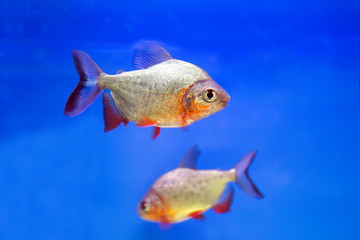 Predatory fish piranha (Pygocentrus nattereri)