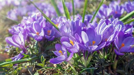 Foto op Textielframe Krokussen Violette Krokusse in der Frühlingssonne