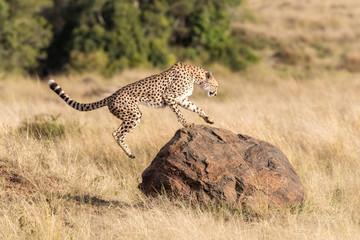 Cheetah leaps onto a rock in the Masai Mara Wall mural