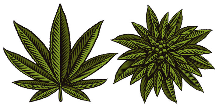 Vector illustration of cannabis leafs.