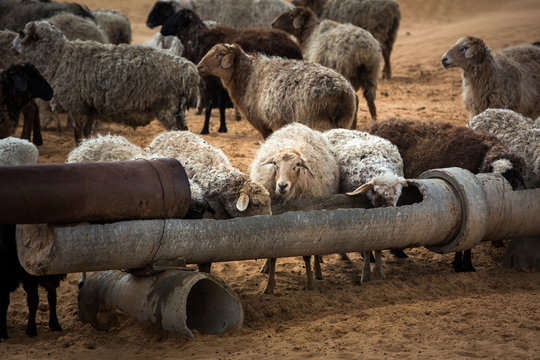Sheep at a watering place in the steppe. White-brown color, aryk for animals.