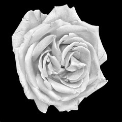 Still life fine art monochrome macro portrait of a single isolated bright white rose blossom with detailed texture on black background in vintage painting style