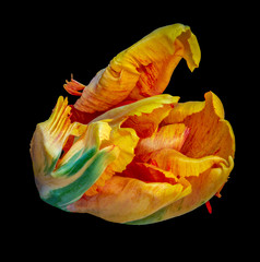Still life bright colorful macro portrait of a single isolated parrot tulip blossom in surrealistic/fantastic realism style with pop-art rainbow colors on black background