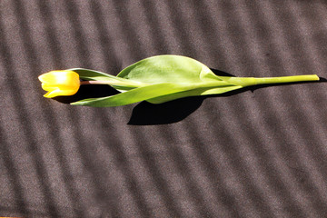 Aluminium Prints Tulip Close up - yellow tulip on black background