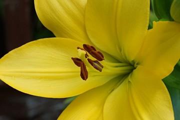 Lilienmakro