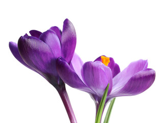 Poster Krokussen Beautiful spring crocus flowers on white background