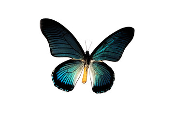 Big butterfly with blue wings, isolate on white background