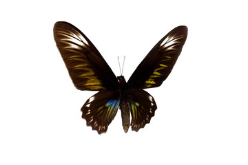 Big butterfly with brown wings, isolate on white background
