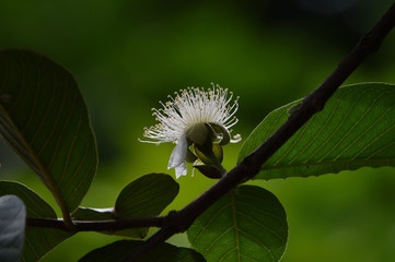 white flower buds from guava fruit