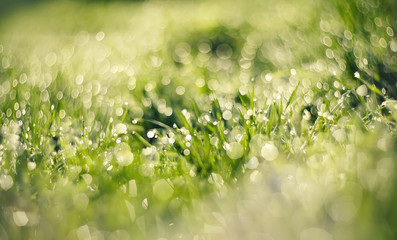 Fresh green grass with dew.
