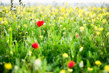 Wild flowers blooming, blurred background