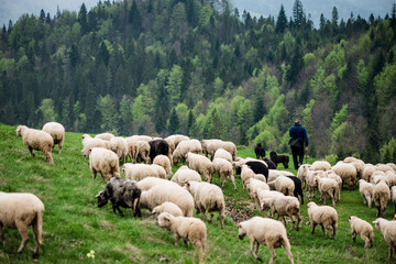Traditional sheep pasture in mountains