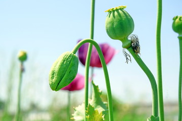 Papaver somniferum L Poppy Bud Field Agriculture Stock Photo