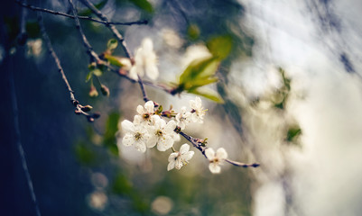 Branch with flowers of a cherry tree