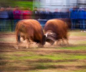 Bulls Fight during the celebration of Fathers Day (São José) in Póvoa de Lanhoso, Portugal.