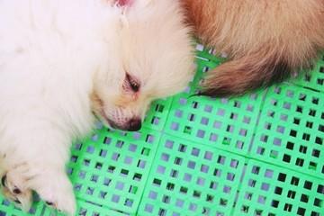 cute white Pomeranian dog sleep on basket close up