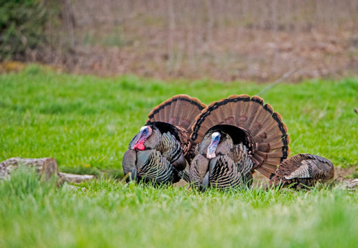 Two male wild Turkeys strutting their tail feathers during the rutting season.