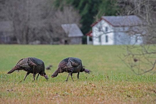 Scenic Wild Turkeys in Cades Cove field.