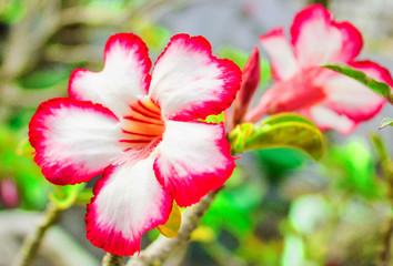 Beautiful Kamboja Flower
