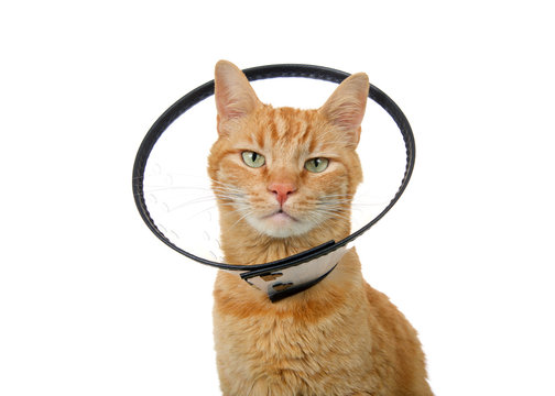 Portrait of an orange ginger tabby cat wearing an elizabethian collar to prevent self injury after surgery. Also called an e-collar or the cone of shame.