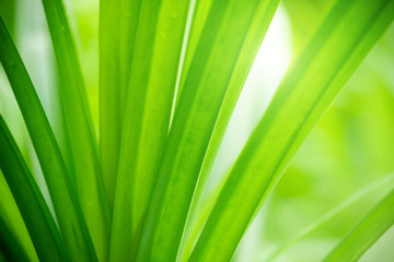 Closeup view of natural green leaf color under sunlight. Use in the background, or wallpaper.  Nature concept.