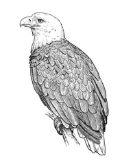 Drawing of american bald eagle. Hand sketch of bird Haliaeetus leucocephalus, black and white illustration