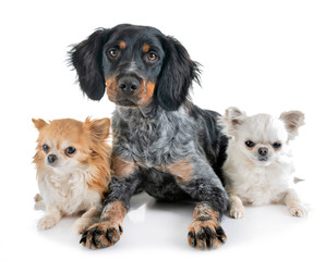puppy brittany spaniel and chihuahuas