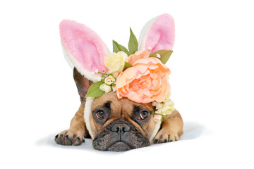 Cute fawn French Bulldog dog girl lying on floor with floral headpiece with big beautiful flowers luke peony roses and easter bunny ears on white background