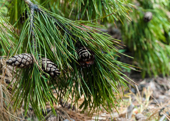 selective focus of green pine branch with bumps in forest