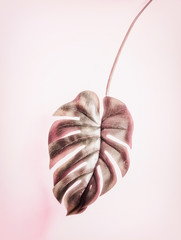 Wall Mural - Hanging tropical Monstera leaf on pastel pink background