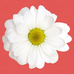 chamomile flower on a colored background cards
