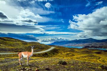 Guanaco is in Torres del Paine Park
