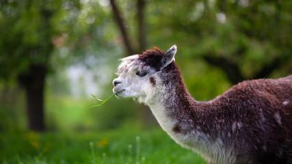 Alpaca eating grass,South American mammal