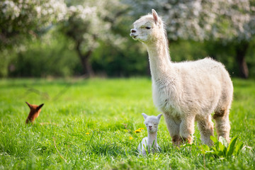 White Alpaca with offspring, South American mammal Wall mural