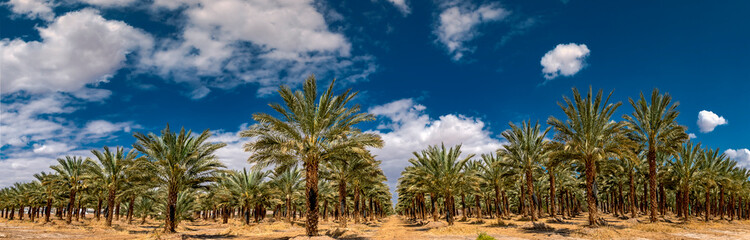 Panoramic view on plantation of date palms. Image depicts advanced tropical and desert agriculture in the Middle East