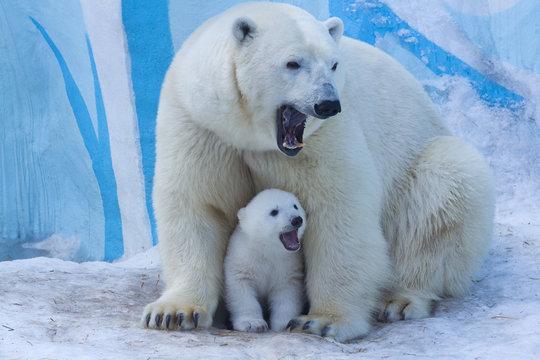 Polar bear with cub on snow.  Polar bear mom teaches the kid to growl.