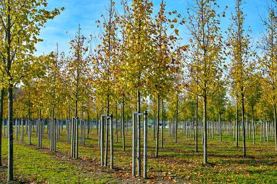 Privat garden, parks tree nursery in Netherlands, specialise in medium to very large sized trees, grey alder trees in rows