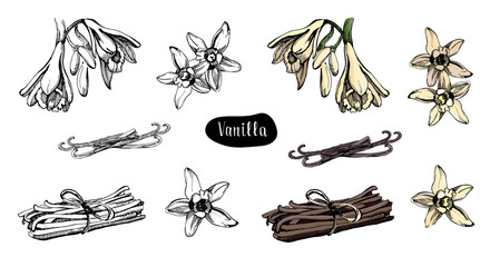 Vanilla flower isolated on the white background.Collection of vanilla flowers and vanilla sticks.Sketch illustration, colorful and black version.