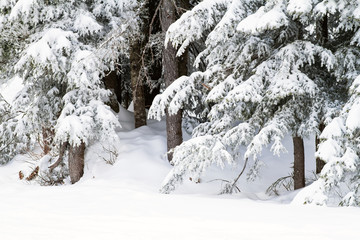 Snow rests gently on the branches of evergreen or coniferous trees; snow drifts surround tree trunks