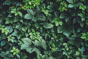 Hedge of big green leaves in spring. Green fence of parthenocissus henryana. Natural background of girlish grapes. Floral texture of parthenocissus inserta. Rich greenery. Plants in botanical garden. Wall mural