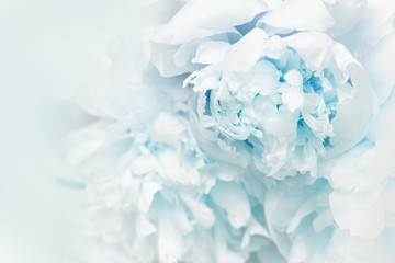 Beautiful blue peony petals close up. Natural flowery background. Copy space. Soft selective focus.