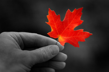 Hand Holding Fall Red Maple Leaf Foliage Autumn
