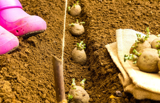 First early seed potatoes with sprouts or chits on hessian sacking with tubers planted in prepared row of fine prepared soil (Tilth) in background. String line and Pink plastic work shoes. England.
