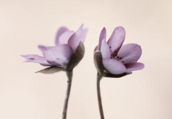 Leinwandbilder - Hepatica nobilis -Przylaszczki