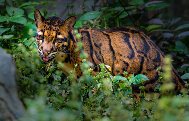Poster Leopard Clouded Leopard Neofelis nebulosa