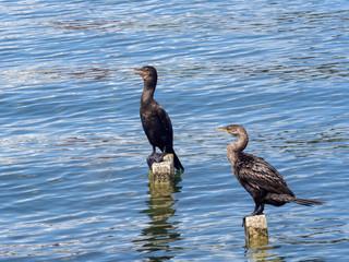 Neotropic cormorant, Phalacrocorax brasilianus, sitting on stilts in a lake, Guatemala