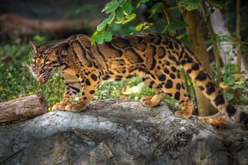 Poster Leopard Clouded Leopard Neofelis nebulosa