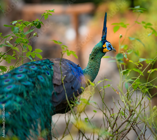 Green peafowl Pavo muticus also known as Java peafowl