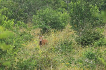 Sable antelope in Shimba Hills National Reserve